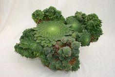 Aeonium tabuliforme crest - Succulent Gardens