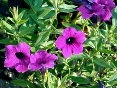 Wild reseeding petunia, great for slopes