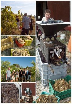 Grape Harvest and Wine Making in #LeMarche