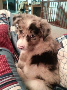 Love my Kimber puppy :) Blue Merle Border Collie