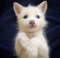 renard-blanc-mignon-domestique-14