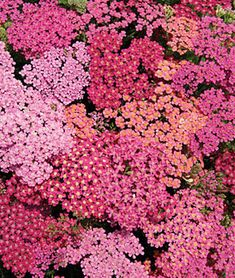 Achillea 'Cherries Jubilee' common name, Yarrow. Flowered mix in shades of bright reds, roses and violets. The bloom time is extended, and it makes an excellent cut flower.