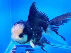 544 Best Goldfish Ryukin Oranda images in 2018 | Aquarium Fish