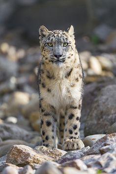 Snow Leopard (Uncia Uncia) - Endangered