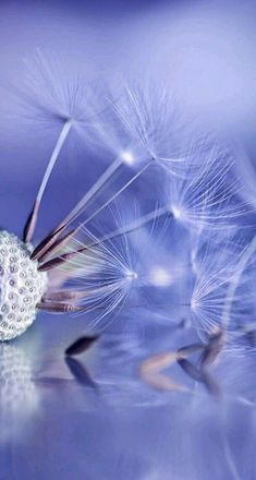 Dandelion Wishes in periwinkle blue / soft purple or lavender