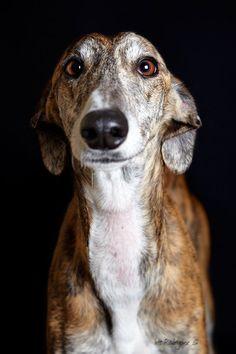 Galgo ♥--A Spanish Greyhound. Beautiful Dogs, Animals Beautiful, Cute Animals, Regard Animal, Love My Dog, Grey Hound Dog, Mundo Animal, Old Dogs, Dog Portraits