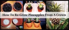 How To Re-Grow Pineapples From A Crown   Health & Natural Living