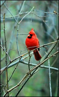 One of my favorite birds, the Virginia state bird -- cardinal.