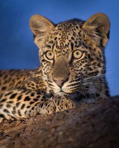 Leopard Cub #cat
