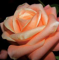 https://flic.kr/p/8jo7Ce | UNE ROSE DE MON JARDIN**BON DIMANCHE** | Le parfum de la rose  Qui sait mieux de la rose réveiller le…