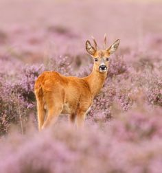 roe deer in a field of heather