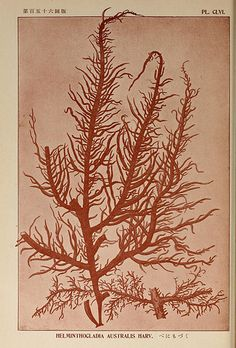 Icones of Japanese algae v. 4 -- Tokyo, Kazamashobo [1907-1942].