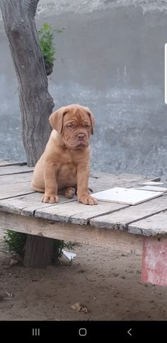 """The breed is commonly referred to as the """"Mastiff"""". Also known as the English Mastiff this giant dog breed gets known for its splendid, good nature. French Bull Mastiff, French Mastiff Puppies, British Mastiff, Mastiff Puppies For Sale, Mastiff Breeds, Mastiff Dogs, Giant Dog Breeds, Giant Dogs, Fierce Animals"""