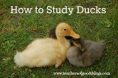 How to Study Ducks www.teachersofgoodthings.com