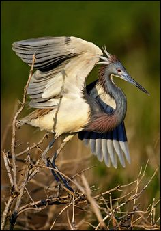 The Tricolored Heron (Egretta tricolor) formerly known in North America as the Louisiana Heron, is a small heron. It is a resident breeder from the Gulf states of the USA and northern Mexico south through Central America and the Caribbean to central Brazil and Peru.