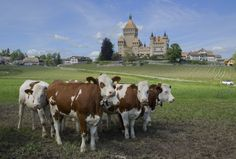 Hereford Cattle, Beef Cattle, Country Of Origin, World War Two, Switzerland, Explore, City, French, Google