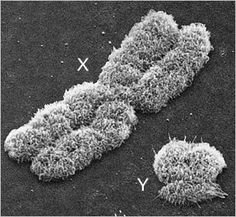 ☤ MD ☞☆☆☆ Chromosomes X et Y. The Human X and Y Chromosomes. See: https://pinterest.com/pin/287386019947978259