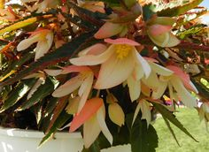 Begonia Bossa Nova from Floranova - a great write up on the Petal Talk website. Large Containers, Begonia, Hanging Baskets, Looking Stunning, F1, Nova, Bloom, Gardening, Spring