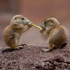 Sweet Baby Prairie dogs