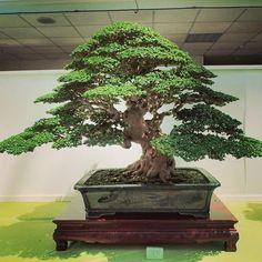 "26 Likes, 2 Comments - Hao Lung (@lung.hao) on Instagram: ""綿密的枝葉與葉團層次布局,非常漂亮的一顆壽娘子盆栽。#盆栽 #盆景 #壽娘子 #bonsai #premna_obtusifolia #Taiwan_bonsai"""