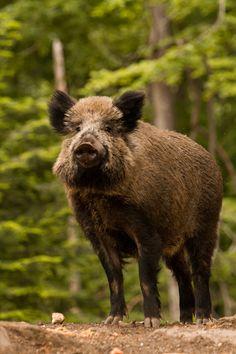 10bullets:  Mr. Boar by Wolfling01