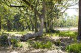 Unique Oak Tree at Churchill Oaks, vegitation, landscape, Santa Rosa Beach, South Walton