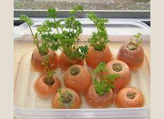 Como Plantar Cenoura em Vaso em Casa