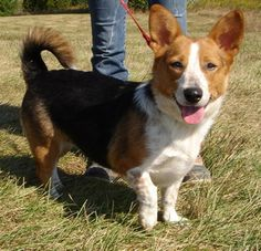 """Beagle Mix Corgi Beagle = Beagi - The name Corgi literally means """"dwarf dog"""" in Welsh. Dwarfism is a dominant gene, therefore when crossing dwarf dogs, such as Corgi's, with non-dwarf dogs, the gene takes over. Corgi Cross Breeds, Corgi Mix Breeds, Dog Breeds, Corgi Husky, Beagle Mix Puppies, Beagle Dog, Collie, I Love Dogs, Cute Dogs"""