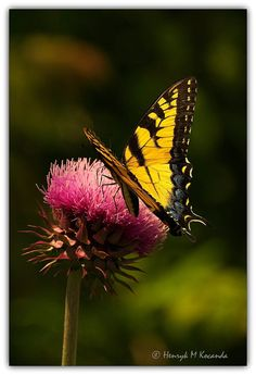 Butterfly on thistle by Henryk  Mariusz. on 500px