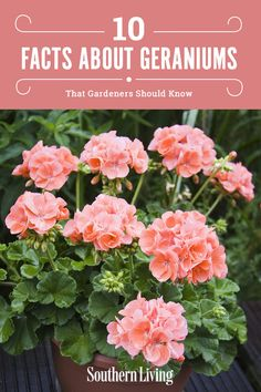 Geraniums are popular plantings across the South. Read on to learn more about these regional-favorite flowers and try your hand at planting some this season. Gardening 10 Facts About Geraniums That Gardeners Should Know Geranium Care, Perennial Geranium, Geranium Flower, Geranium Dress, Geranium Macrorrhizum, Geranium Oil, Wild Geranium, Geranium Planters, Container Plants