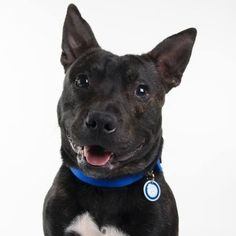 Lovely Emmett still needs a home.   Name: Emmett; Age: 1 Year; Breed: Staffordshire Bull Terrier; Gender: Male; Reference: 226633.  To #RehomeABatterseaDog call 0843 509 4444.