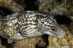 RETICULATED MORAY