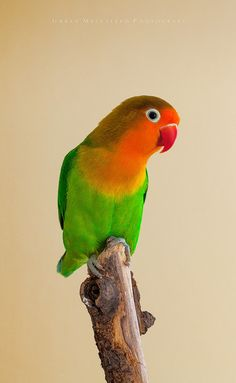 """Awww, cute. """"Fischer's Lovebird (Agapornis fischeri)"""" by Goran Kljutić.  ***** Referenced by 1 Dollar Web Hosting  (WHW1.com): WebSite Hosting - Affordable, Reliable, Fast, Easy, Advanced, and Complete.©"""