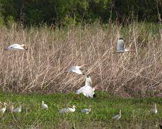 Woodstorks on the Creole Nature Trail, Louisiana