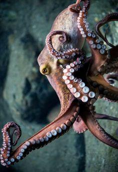 Dancing Octopus photo by _______ DaugaardDK Beautiful Sea Creatures, Deep Sea Creatures, Octopus Photography, Animal Photography, Kraken, Octopus Pictures, Octopus Tattoos, Life Aquatic, Underwater Life