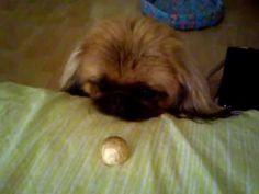 funny puppy (смешной щенок пекинес)