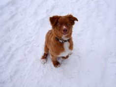 nova scotia duck tolling retriever's first time in the snow