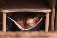Wutz Doc - ein Meerschweinchen Blog