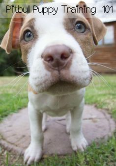 Here are a few pitbull puppy training tips to help you with your new pit puppy. These pitbull puppy training tips are easy to follow and easy to achieve.