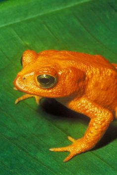 Golden toad (Bufo periglenes) - small, shiny, bright true toad now extinct, once abundant in a small region of high-altitude cloud-covered tropical forests, about 10 square kilometres (3.9 sq mi) in area, above the city of Monteverde, Costa Rica
