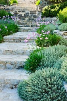 stone steps + tulbaghia violacea