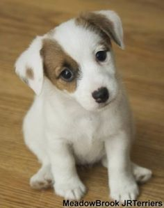 Jack Russell Terrier. Reminds me of Baby Rus