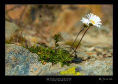 Wild mountain-flower....