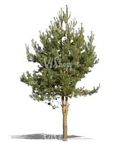 A cut out small pine tree