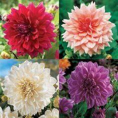 One each of: Lilac Time, White Perfection, Otto's Thrill and Zorro. A total of 4 big dahlias. Green Flowers, Colorful Flowers, Single And Happy, Annual Plants, Flower Seeds, Garden Supplies, Myrtle, Perennials, Illusions