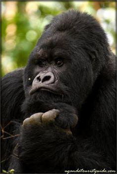 Rwanda Mountain Gorilla ~j Primates, Mammals, Reptiles, Beautiful Creatures, Animals Beautiful, Big Gorilla, Animals And Pets, Baby Animals, Gorillas In The Mist