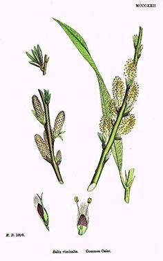 """Sowerby's English Botany - """"COMMON OSIER"""" - Hand-Colored Litho - 1873"""