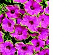 If you love 'Pretty Much Picasso,' here's Supertunia Piccaso, more compact with heat and humidity tolerance.