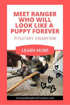 Ranger, the German Shepherd, is only 15 pounds and will look like a puppy forever due to a condition known as pituitary dwarfism. Read about Ranger here. 👇🐾 #germanshepherd #agermanshepherd #gsdfacts #gsdpuppy #germanshepherdfacts #germanshepherdscute #gsd  #gsddog  #gsddoggermanshepherds German Shepherd Facts, German Shepherd Puppies, Gsd Dog, Gsd Puppies, Low Thyroid Levels, Dwarfism, Us Vets, Dog Pictures, Best Dogs