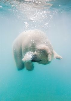Polar Bear under water Olga Gladysheva